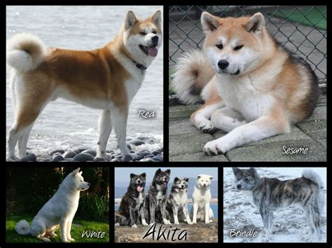 akita colors akita colors note that there s a difference