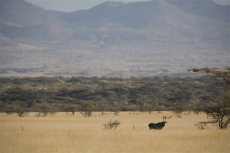 Boneka Grassland By Elie Gallery kenya february 2012 loisaba shaba tsavo east and