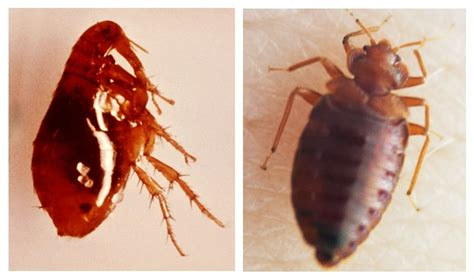 difference between ticks and bed bugs difference between ticks and bed bugs 28 images
