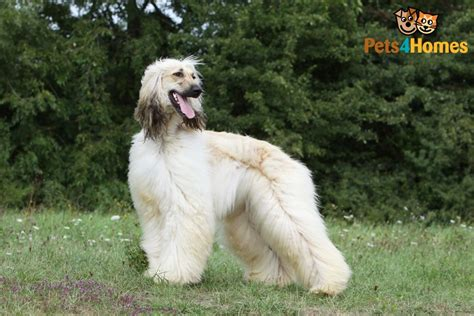 afghan hound puppy afghan hound breed information buying advice photos and facts pets4homes