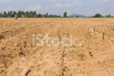 Plantation De Manioc by Plantation De Manioc Photos Freeimages