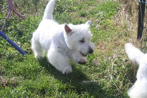 west highland white terrier 8 months breeds picture