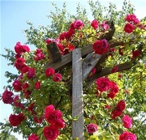 kletterrosen richtig schneiden kletterrosen darauf gilt es zu achten rosenbogen kaufen