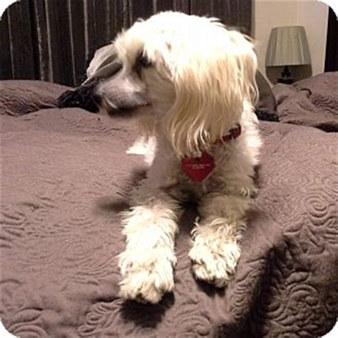 maltese in chinese sammy adopted dog san dimas ca chinese crested
