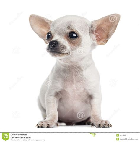 looking for free puppies chihuahua puppy sitting looking up 4 months isolated royalty free stock photography