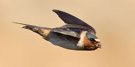 the cliff swallows of capistrano audubon california