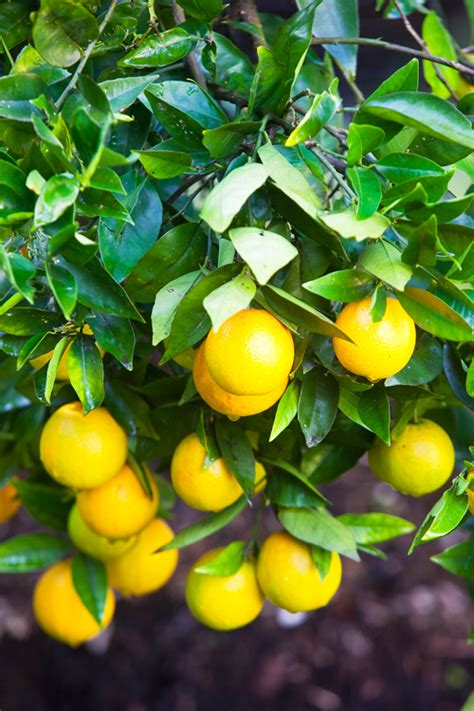 when do lemon trees produce fruit how to get your plants to produce fruit and flowers