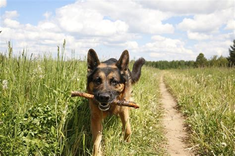 How To Reduce Shedding In German Shepherds by Preventing Dandruff On German Shepherds Ridge