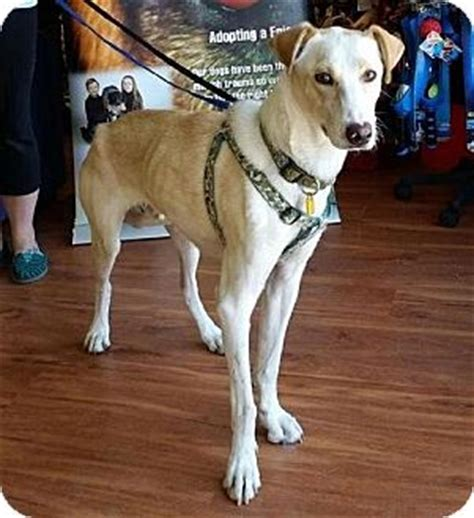 greyhound golden retriever mix greyhound labrador retriever mix for adoption in saskatoon saskatchewan ghost