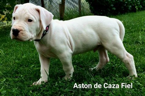dogo argentino puppies for sale 2016 25 best ideas about dogo argentino for sale on dogo argentino breeders