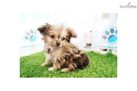 pomeranian teacup for sale in lebanon tea cup pom a poos for sale in pa breeds picture