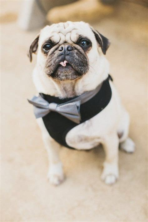 pug tuxedo 123 best for the of all things pug images on pug baby