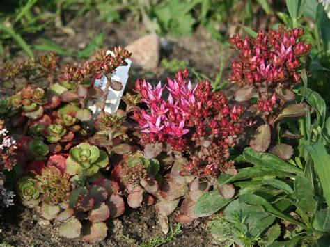 teppich bilder teppich fettblatt purpurteppich sedum spurium