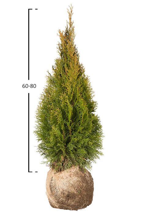 Thuja Smaragd Wachstum 3328 by Thuja Smaragd Kaufen Lebensbaum Auf Garmundo De