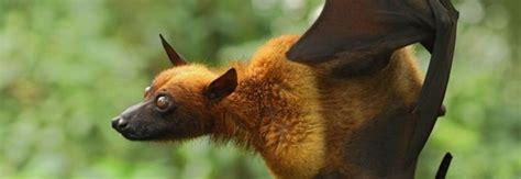 volpi volanti australia l invasione dei pipistrelli un intera