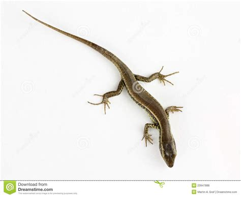 australian backyard lizards common lizard isolated royalty free stock photos image