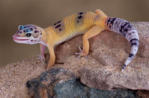 screamin gecko pet trending