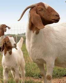 gestation period calculator 371 best images about goats on hay feeder goats and goat milk