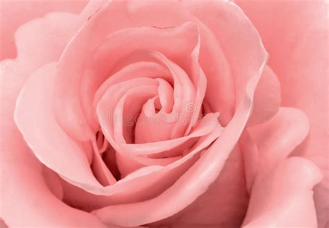light up red roses the beautiful rose flower delicate light pink color