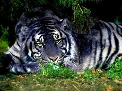 maltese tiger wiki display full image