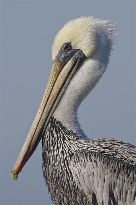 bird bay datei mikebaird brown pelican pelecanus occidentalis bird in morro bay ca by