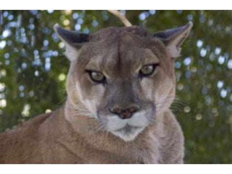 reset nvram mountain lion mountain lion spotted in emerald lake hills redwood city