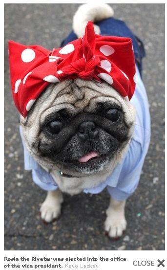 do pugs go blind 37 best pugs in costumes d images on