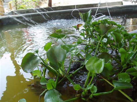 Bibit Ikan Nila Subang budidaya dan pembibitan ikan patin pasopati