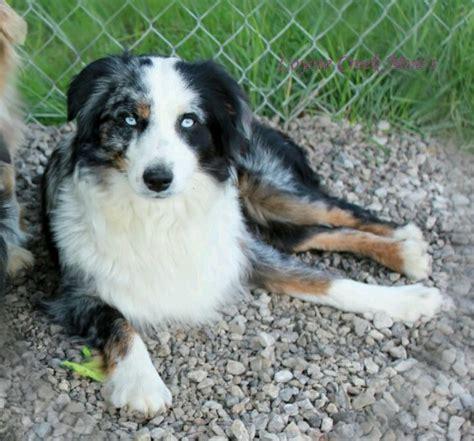 undocked australian shepherd puppies for sale 17 best images about miniature american shepherd on american pickers