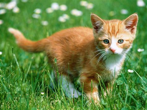 cat wallpaper gallery cute orange kitten cats wallpaper
