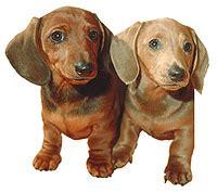 Burkes Backyard Dogs by Burkes Backyard Fact Sheets Dachshunds Breeds Picture