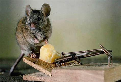 Superior  El Mejor Veneno Para Ratones #2: Venenos-caseros-mortales.jpg