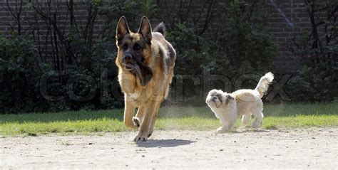 german shepherd shih tzu shih tzu chasing a german shepherd stock photo colourbox