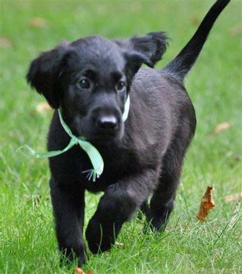 flat coated retriever puppy milly the flat coated retriever puppies daily puppy