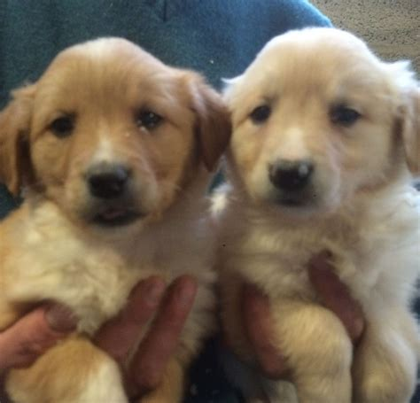 golden retriever x golden retriever x border collie puppies for sale llandeilo carmarthenshire