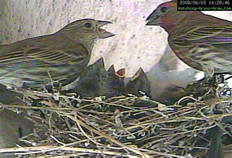 how do house finches live 28 images house finches nest
