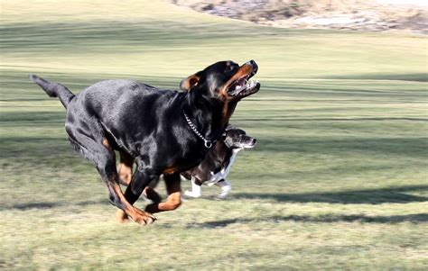 rottweiler running file rottweiler and other running jpg wikimedia commons