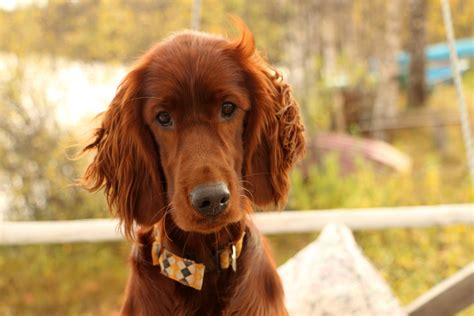 setter dog traits irish setter dog breed characteristics fun facts and