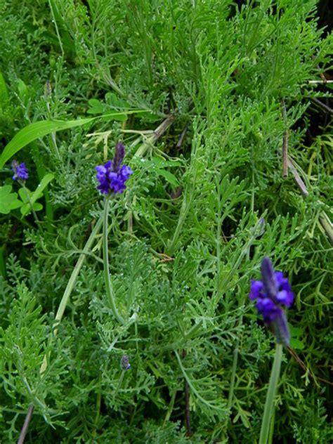 fern leaf lavender flickr photo sharing