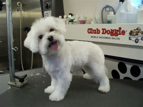 puppy haircuts near me 1000 ideas sobre maltese haircut en pinterest cachorros