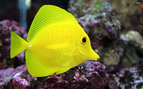 yellow tang care requirements saltwateraquarist com
