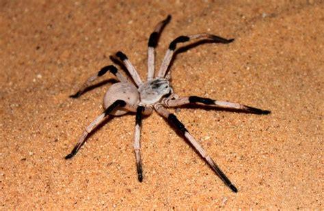 imagenes de arañas blancas galer 237 a de im 225 genes las ara 241 as m 225 s grandes del mundo