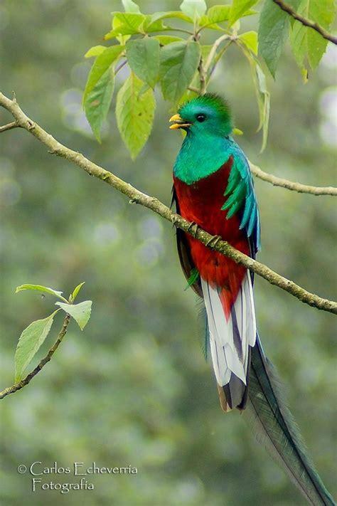 fotos de tatuajes de quetzales gu 237 a tur 237 stica a refugio del quetzal san marcos solo lo