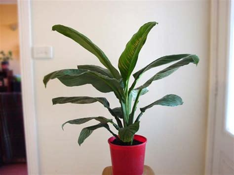 gardensonline spathiphyllum sensation