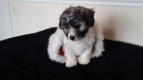 chihuahua poodle mix puppies for sale chihuahua poodle mix 10 of 20 breeds picture