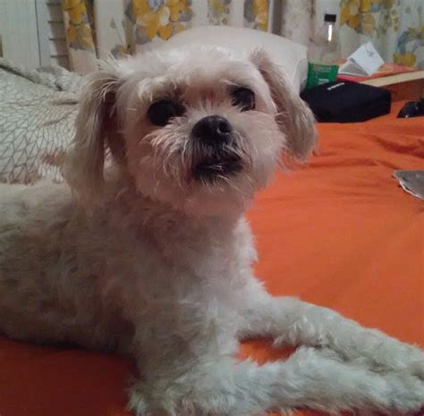what is a maltese shih tzu mix called lost maltese shih tzu mix in aberdeen pets thepilot