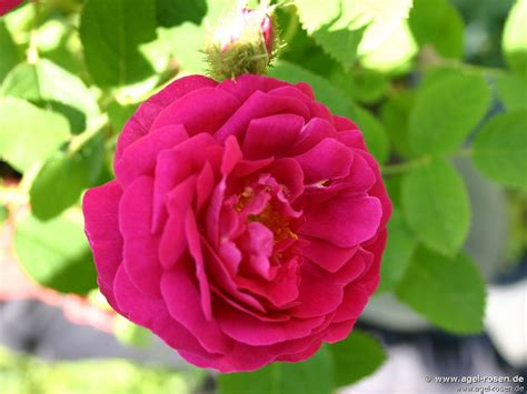 Places To Buy Beds Rosa Centifolia Muscosa Rubra Moss Rose Buy At Agel