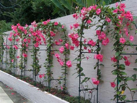 dipladenia cultivo  fotos flores cultura mix