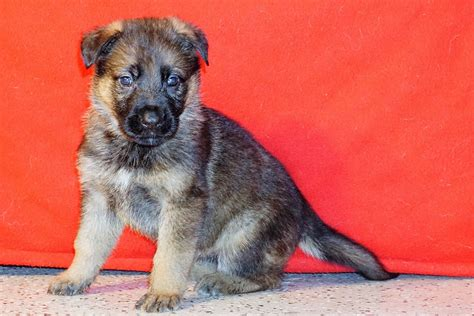 puppies for sale in charleston sc german shepherd puppies for sale in charleston sc