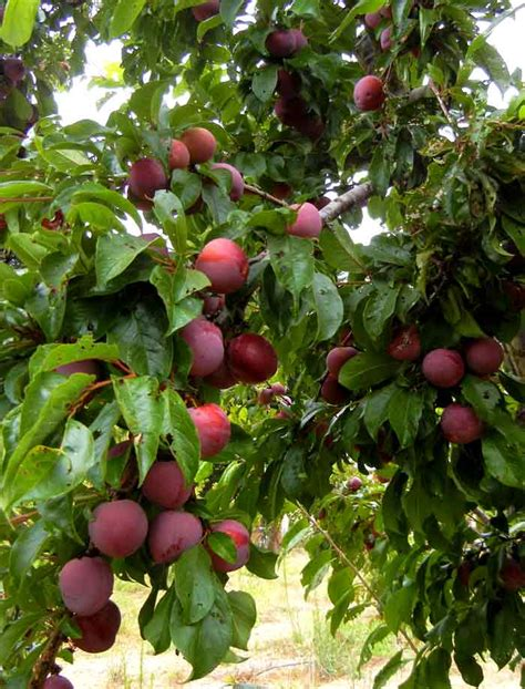 non fruiting plum tree community fruit trees for riverside gardens park actrees